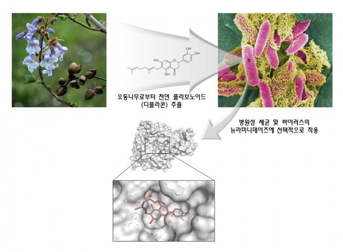 연구진은 오동나무에서 추출한 천연색소 물질이 세균과 바이러스의 특정 단백질을 저해하는 것을 확인하고, 엑스선을 이용해 3차원 구조를 규명하는 데 성공했다. - 광주과학기술원 제공